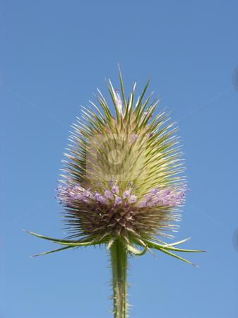 Thistle flower before blue sky stock photo, Thistle flower before blue sky by Robert Biedermann