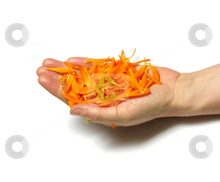 Hand with petals of Calendula stock photo, Hand with petals of Calendula by Robert Biedermann