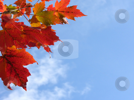 Fall leaves stock photo, Fall leaves in front of blue sky with clouds by Robert Biedermann