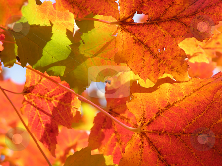 Fall leaves stock photo, Fall leaves in bright red and orange by Robert Biedermann