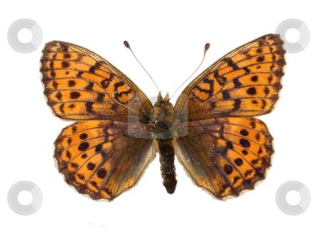 Fritillary butterfly stock photo, Fritillary butterfly by Robert Biedermann