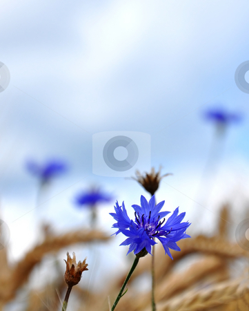 Cornflowers (Centaurea cyanus) stock photo, Cornflowers (Centaurea cyanus) by Robert Biedermann