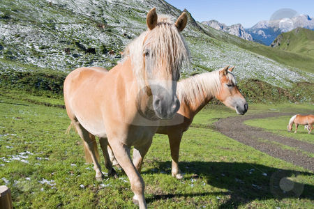 Two haflinger horses stock photo, Two haflinger horses free in a high mountain pasture in italian dolomites, Sudtirol by ANTONIO SCARPI