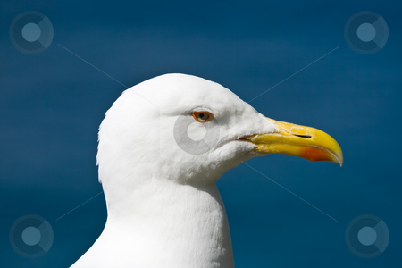 Seagull stock photo, Close up of a seagull standing on a rock near the sea by ANTONIO SCARPI