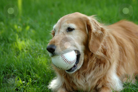 Golden Retriever stock photo, Golden retriever by Tim Elliott
