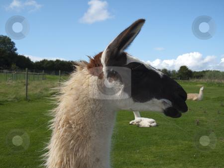 Llama stock photo, A closeupof a Llama's head - amongst others in the field by Stephen Clarke