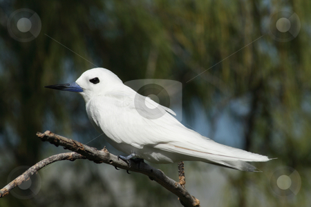 White Frigate Bird (Gygis alba) 003 stock photo, A White Frigate Bird (Gygis alba) is resting, perched on the branch of a casuarina tree. by Steeve Dubois