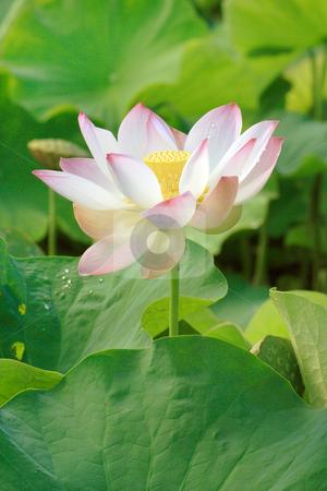 Nelumbo nucifera 008 stock photo, Lotus (Nelumbo nucifera) flower in full bloom, pink petals with green leaves in background by Steeve Dubois