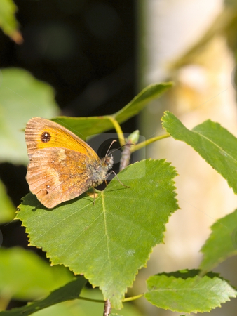 Gatekeeper butterfly stock photo, A gatekeeper butterfly pyronia tithonus on a leaf by Mike Smith