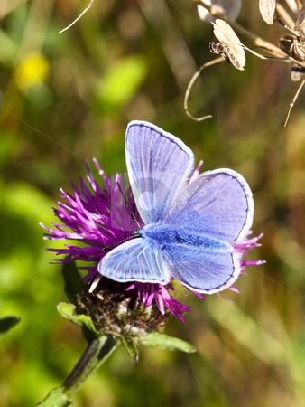 Common blue butterfly stock photo, A male common blue butterfly polyommatus icarus on a knapweed flower by Mike Smith