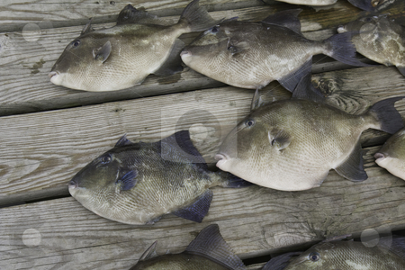 Gray trigger fish (Balistes capriscus) caught by sport fishermen stock photo, Gray trigger fish (Balistes capriscus) caught by sport fishermen off the coast of North Carolina by Stephen Goodwin