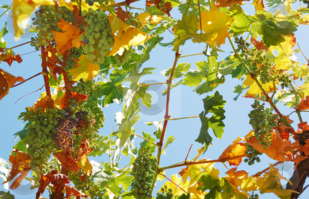 Grapes Against the Sky stock photo, Black and white grapes shown hanging from above against the blue sky. by Denis Radovanovic