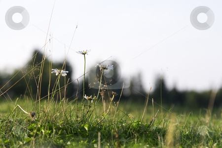 Daisies in a field stock photo, A few daisies in a field trying there best to survive by Yann Poirier