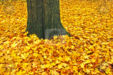 Yellow leaves and trunk of a sugar maple stock photo, Yellow leaves and trunk of a sugar maple (Acer saccharum) in fall; by Stephen Goodwin