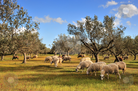 Sheep in olive tree field stock photo, Rural picture of a flock of sheep in an olive tree field. Picture taken in Kalamata, Greece by Andreas Karelias