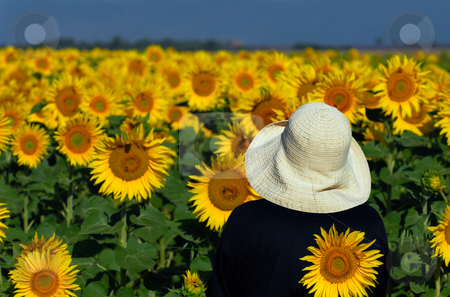 Looking at sunflowers stock photo, Image of a person in a white hat looking at a sunflower field in Provence, southern France by Andreas Karelias