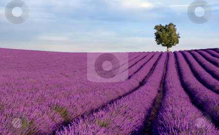 Rich lavender field with a lone tree stock photo, Image shows a  rich lavender field in Provence, France, with a lone tree in the background by Andreas Karelias
