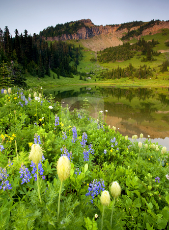 Wildflower Shores stock photo, Lupine and Western Anenome line Upper Lake Tipsoo as Naches Peak gathers a bit of late evening light. by Mike Dawson