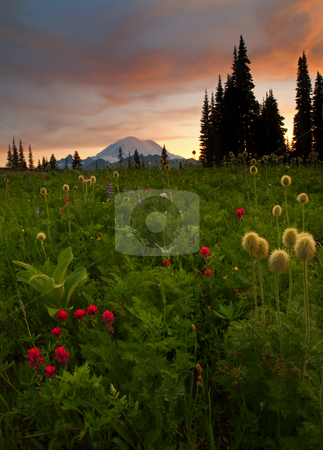 Western Anenome Sunset stock photo, Western Anenome and paintbrush backlit by the sun setting behind Mt. Rainier by Mike Dawson