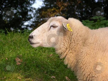 Sheep foraging on a dike stock photo, Sheep foraging on a dike by Robert Biedermann