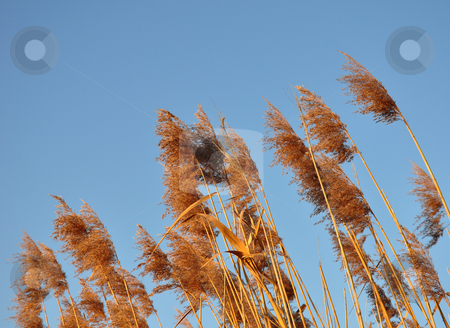 Reed stock photo, Reed by Robert Biedermann