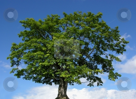 Mountain maple tree and blue sky stock photo, Mountain maple tree and blue sky by Robert Biedermann