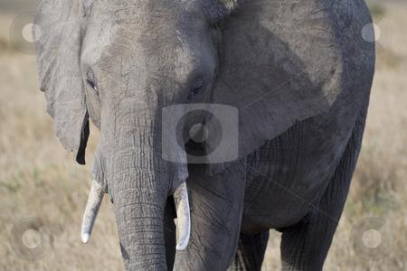 Elephant stock photo, African Elephant, Masai Mara, Republic of Kenya, Eastern Africa by mdphot