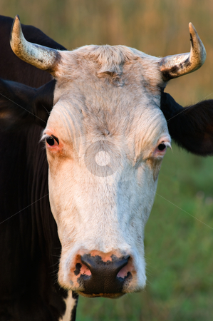 Cow with horns stock photo, Close-up picture showing a cow with horns. by Andreas Karelias