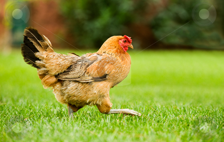 Hen on the move stock photo, Image of a hen walking on a green field by Andreas Karelias