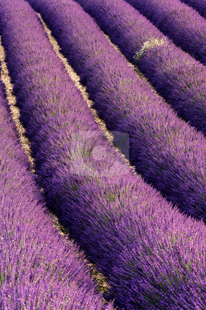 Rows of lavender stock photo, Image shows rows of blooming lavender in a field which has been well taken care of. by Andreas Karelias