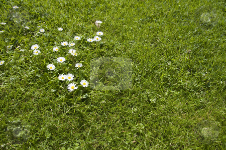 Collection of daisies stock photo, A group of daisies on a lawn. by Stephen Kiernan