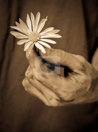 Hand with daisy stock photo, A male hand delicately holds a white daisy by Sharon Arnoldi