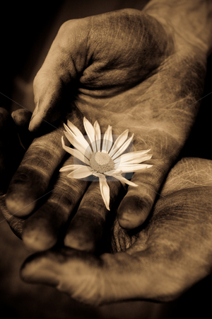 Hand over hand with daisy stock photo, Two male hands hold a delicate daisy by Sharon Arnoldi