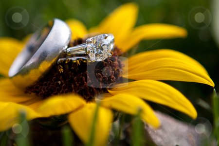 Two wedding rings on a sunflower stock photo, Two wedding rings resting on a sunflower outdoors by Sharon Arnoldi