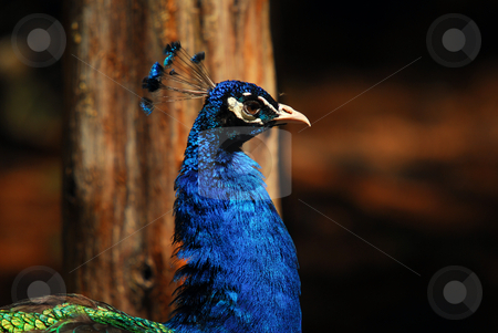 Indian Peafowl stock photo, Closeup picture of a very colorful Indian Peafowl by Alain Turgeon