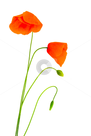 Fragile poppies stock photo, Fragile poppies over a white background by Laurent Renault