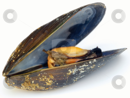 Mussel stock photo, Profile view of a mussel on a white background. by Sinisa Botas