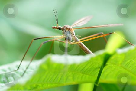 mosquito stock photo, big mosquito sit on green  raspberry bush by Jolanta Dabrowska