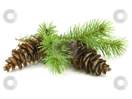 Pine Cones stock photo, Pine cones with branches on white background by John Teeter