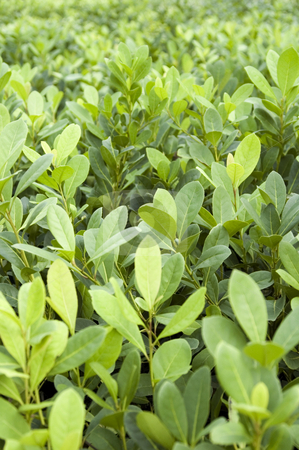 Yerba Mate Crop stock photo, Crop of young seedlings of Argentinian Yerba Mate plants. This plant is drunk with boiling water similar to tea. by Lee Torrens