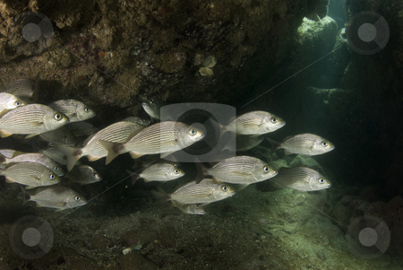 Cortez Sheltered Grunts stock photo, A school of Spottail Grunt (Haemulon maculicauda) seek shelter under rocks while the sun shines through an opening in the rocks. by A Cotton Photo