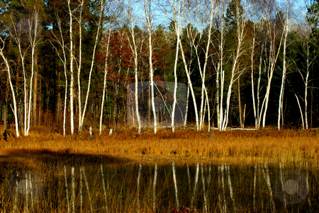 Birch Fall Reflection stock photo, Minnesota's landscape changes dramatically as the fall season arrives as emphasized by the autumn foliage colors contrasting with the white birch reflections on a secluded pond in a wilderness area. by Dennis Thomsen