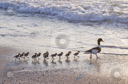 Follow me... stock photo, Family of ducks walking a straight line in front of the sea. by Serge VILLA