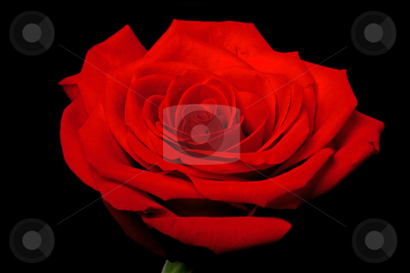 Red rose flower on black stock photo, Close up of a rose flower with some parts blurry and others sharp showing its beautiful petals, isolated. by Paul Hakimata