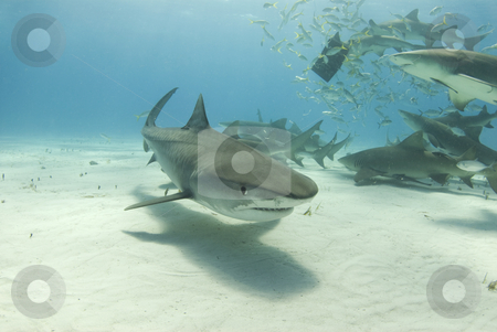 Tiger Shark with Feeding Lemons stock photo, A tiger shark (Galeocerdo curvier) swims toward the camera as lemon sharks (negaprion brevirostris) eat behind her. by A Cotton Photo