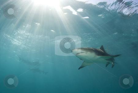 Lemon Rays stock photo, A lemon shark (Negaprion brevirostris) swims above as a burst of sunlight breaks through the ocean's surface by A Cotton Photo