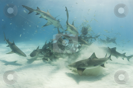 School of Scavenging Lemon Sharks stock photo, A school of lemon sharks (Negaprion brevirostris) stir up the white bottom as they scavenge for their share of food. by A Cotton Photo