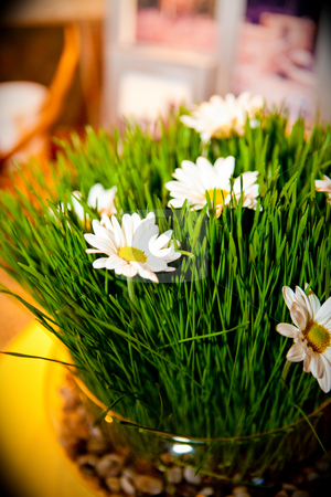 Wheatgrass with white daisy stock photo, Green wheatgrass grown with white daisies for a decorative center piece by Sharon Arnoldi