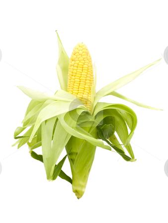 Whole Fresh Corn Cob stock photo, Whole Fresh Corn Cob on a white background by John Teeter