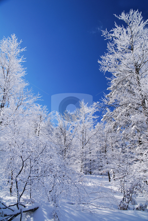 Winter Forest stock photo, Mountain forest in snow, sunny day, winter by Adam Radosavljevic